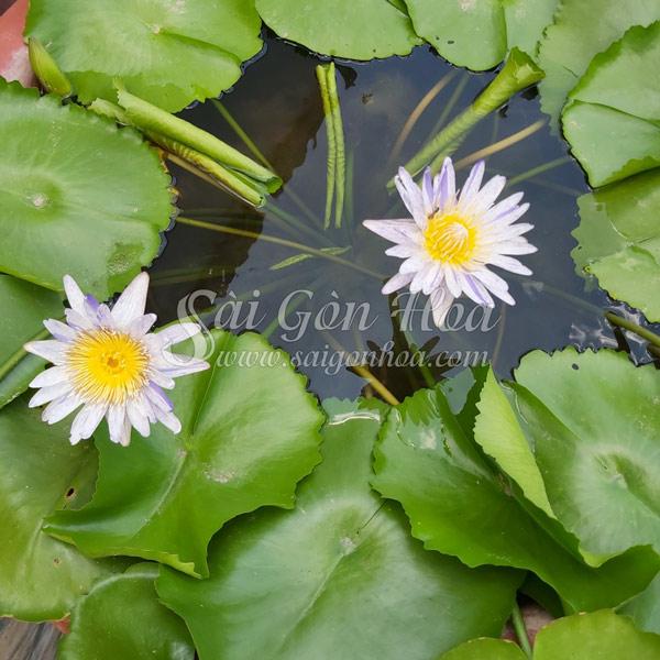 Dac Diem Cay Hoa Sung Thai