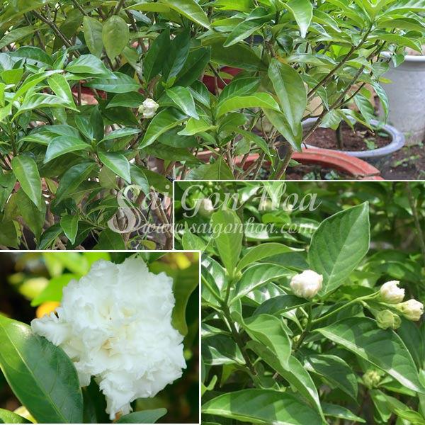 Dac Diem Cay Lai Tay Hoa Kep