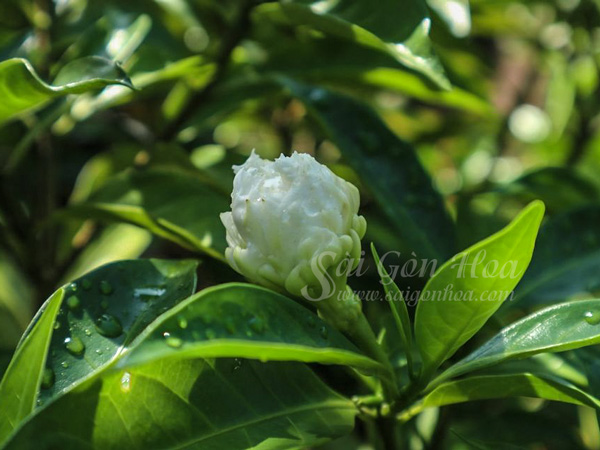 Dac Diem Hoa Lai Tay Canh Kep