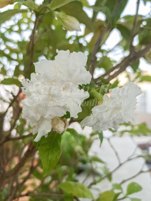 Cây Hoa Lài Tây Cánh Kép