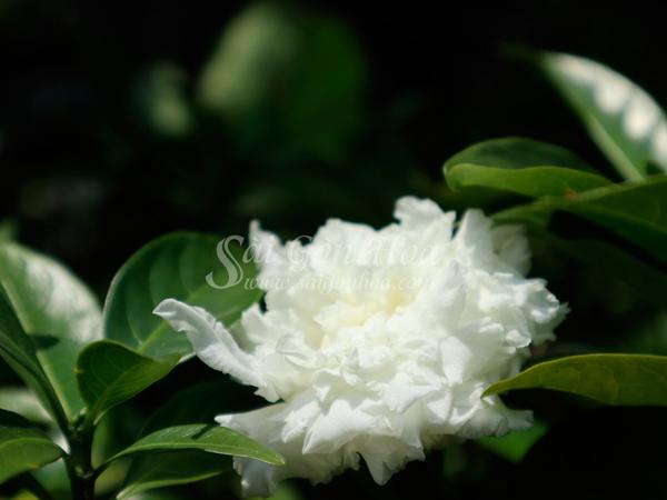 Hoa Lay Tay Canh Kep