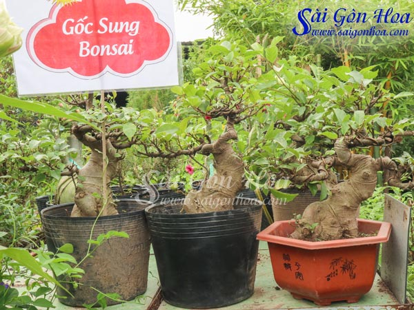 Ban Goc Sung Bonsai