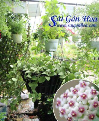 Cay Hoa Lan Cam Cu Thom