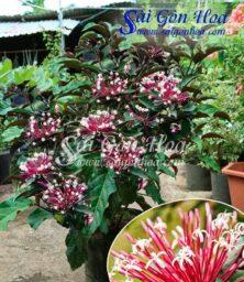 Cay Phao Hoa
