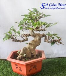 Chau Cay Sung Bonsai
