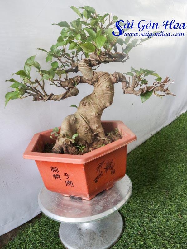 Chau Cay Sung Bonsai Dep