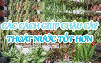 Cach Thoat Nuoc Chau Trong Cay
