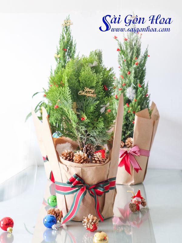 Cay Trac Bach Diep Noel