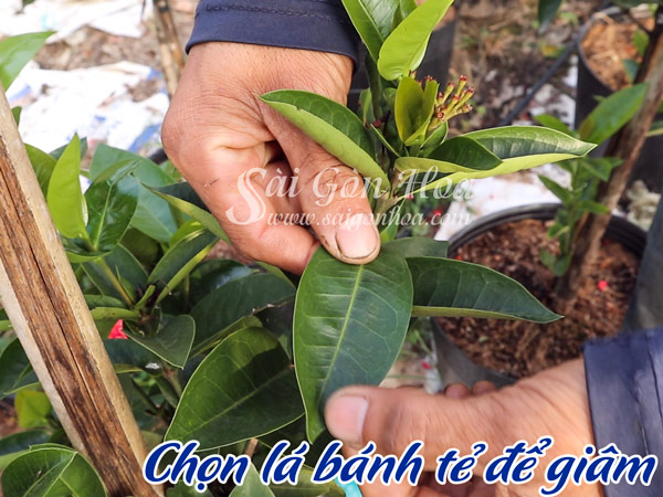 Chon La Banh Te