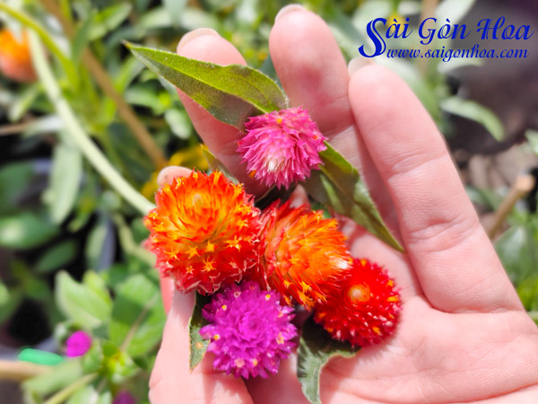 Các Loại Hoa Cây Cúc Bạch Nhật Tím Cà