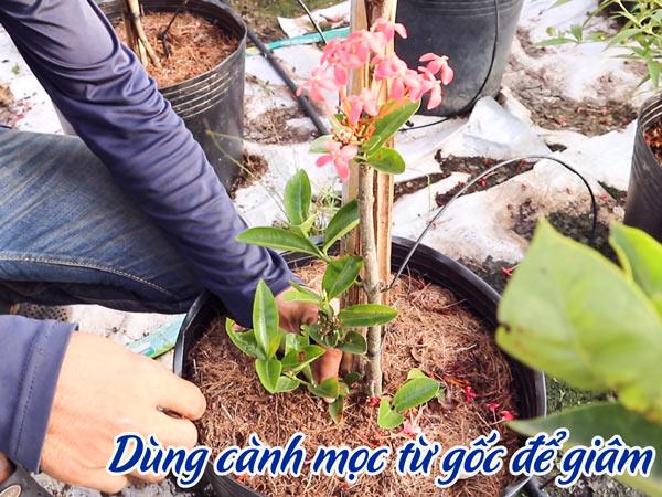 Dung Canh Moc Tu Goc