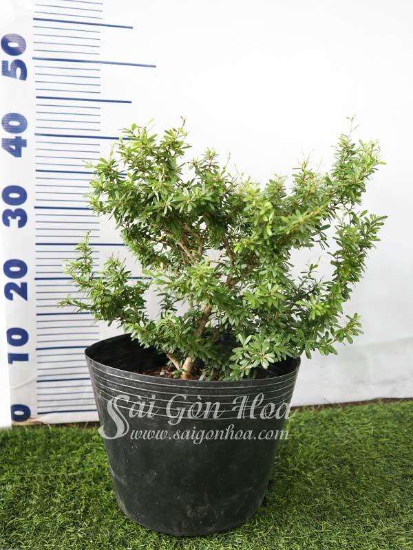 Cây Linh Sam Lá Rí