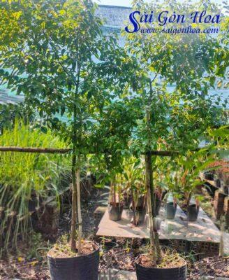 Ban Cay Long Nao San Vuon