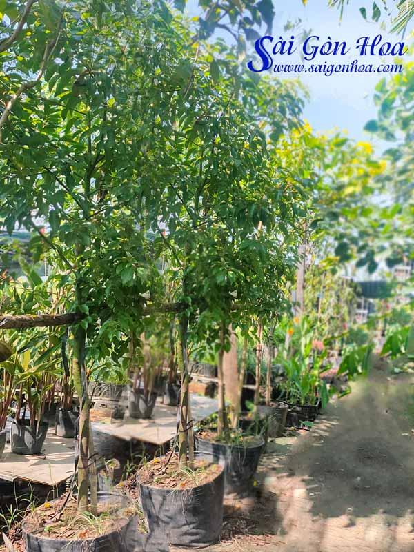 Cay Long Nao San Vuon