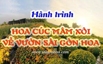 Hanh Trinh Hoa Cuc Mam Xoi