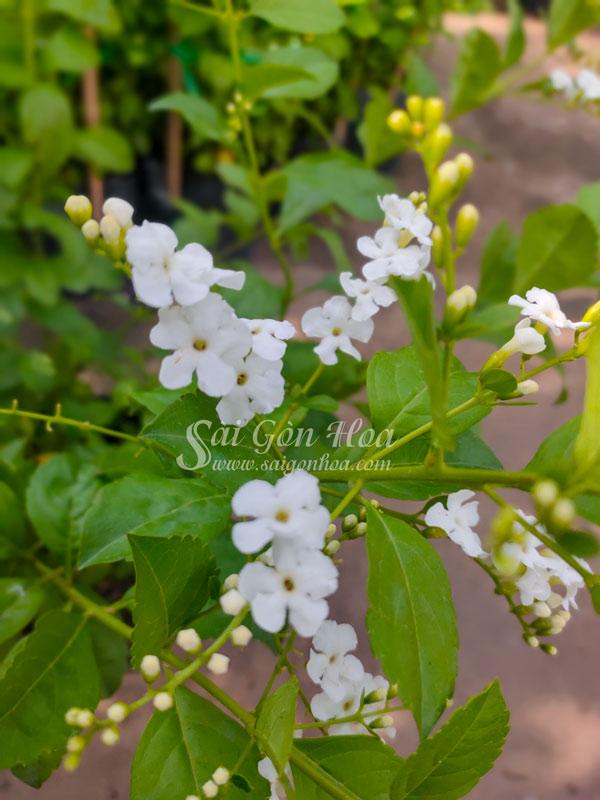 Hoa Chuỗi Ngọc Trắng Vườn