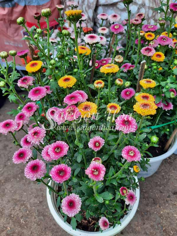 Hoa Cuc Ruby Nhieu Mau