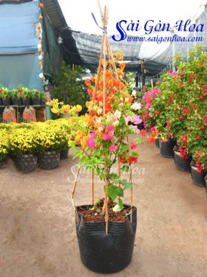 Hoa Giay Nhieu Mau
