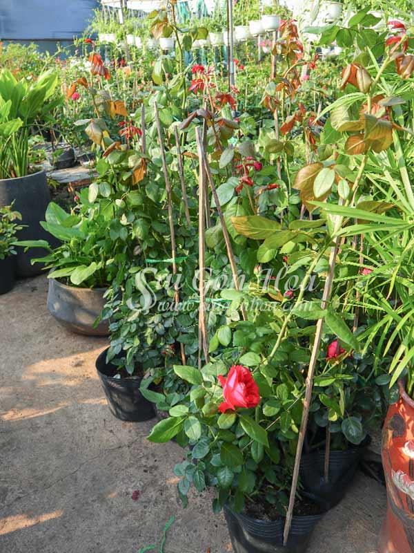Hoa Hồng Leo Đỏ - Red Apple Rose