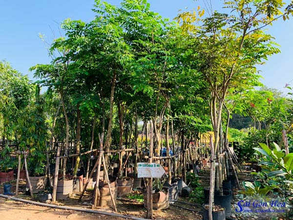 Ban Cay Bong Mat Du Loai