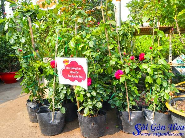 Hoa Hồng Leo Đỏ Red Apple Rose