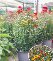 Hoa Cuc Calimero