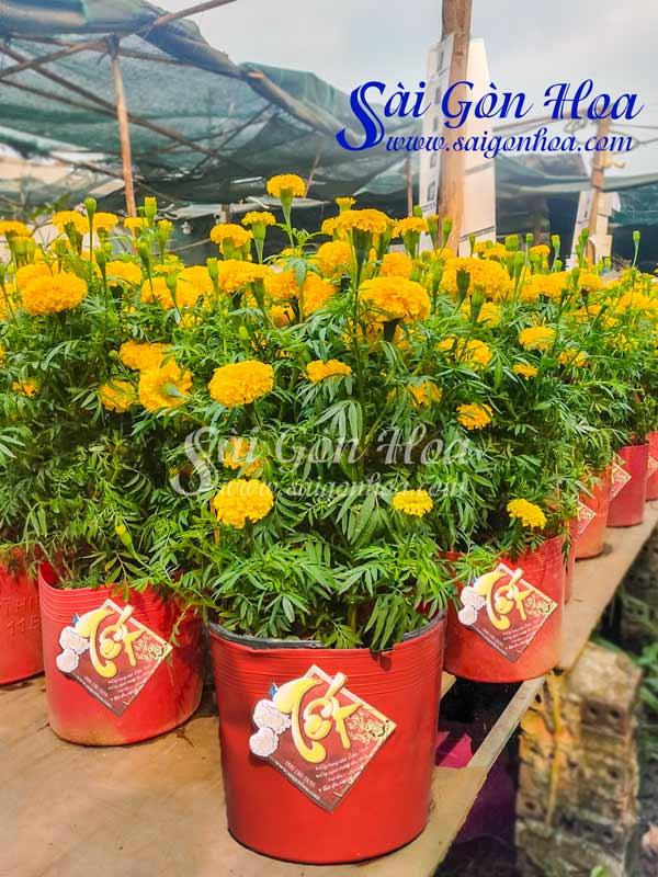 Hoa Cuc Van Tho