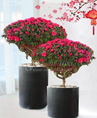 Hoa Do Quyen Dai Phuc Chung Tet
