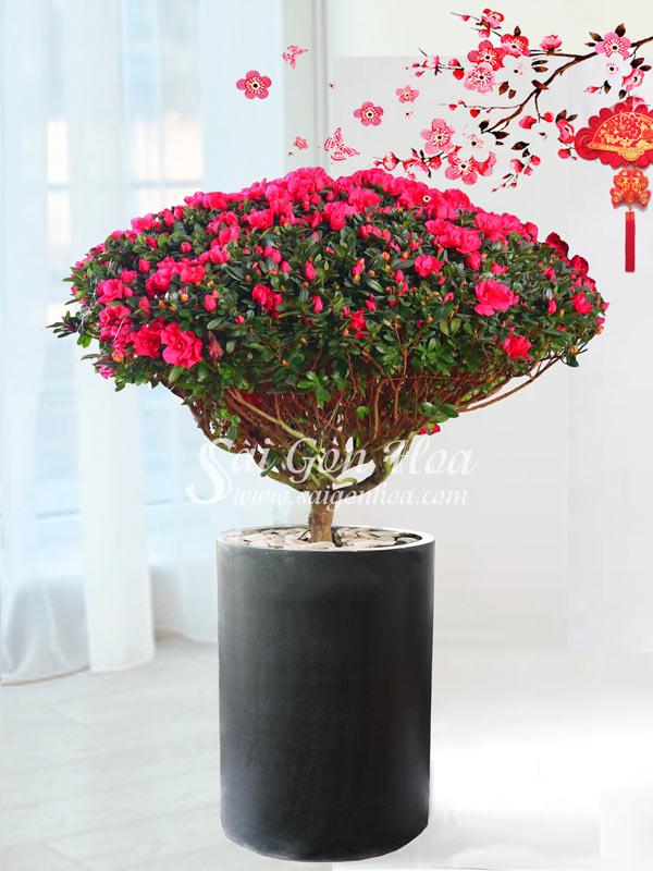 Hoa Do Quyen Dai Phuc Tet