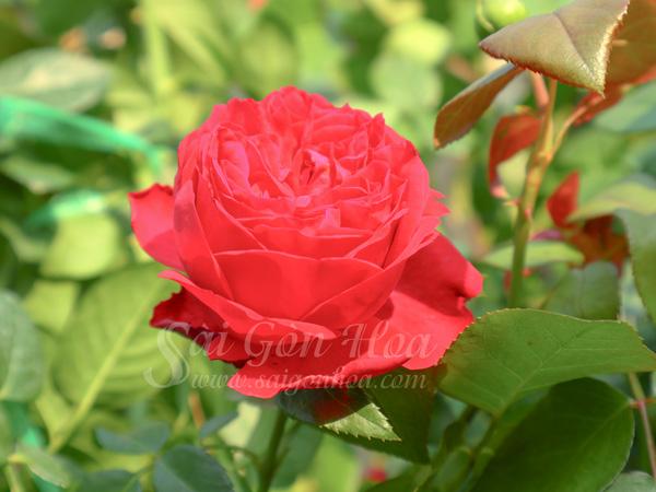 Hoa Hong Do Red Apple