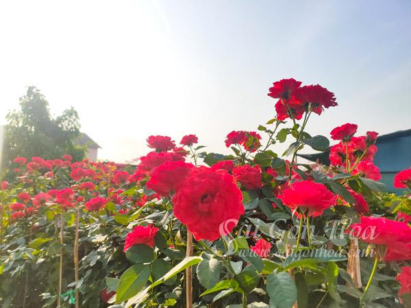 Hoa Hong Lua Trong San Vuon