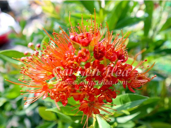 Cây Hoa Mai Thái Cam