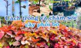 Cach Trong Cay Va Cham Soc Cay Phoi Bo