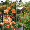 Trồng và chăm sóc cây hoa hồng leo