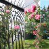 cây hoa hồng leo Soeur Emmanuelle