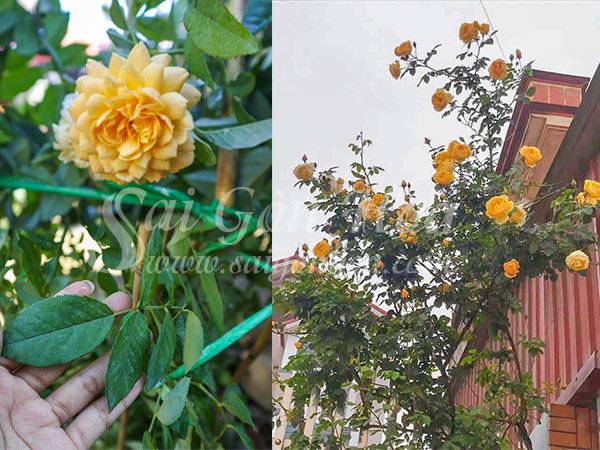 Cây Hoa Hồng Leo Golden Celebration