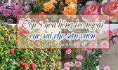 Top 8 Hoa Hong Leo Ngoai Cho San Vuon