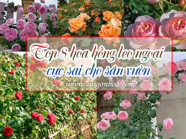 Top-8-Hoa-Hong-Leo-Ngoai-Cho-San-Vuon