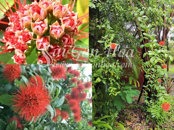 Hoa Và Cây Hỏa Châu
