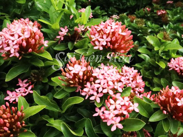 Hoa Cây Trang Tán Thông