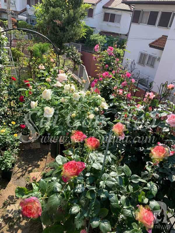Cây Hoa Hồng Color Shell Trồng Sân Vườn