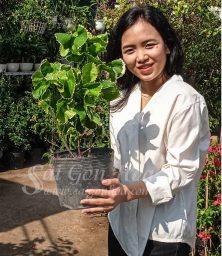 Cay Lan Phung 2