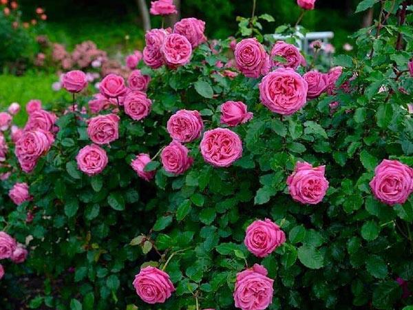 Cây Hoa Hồng Leo Auguste Renoir