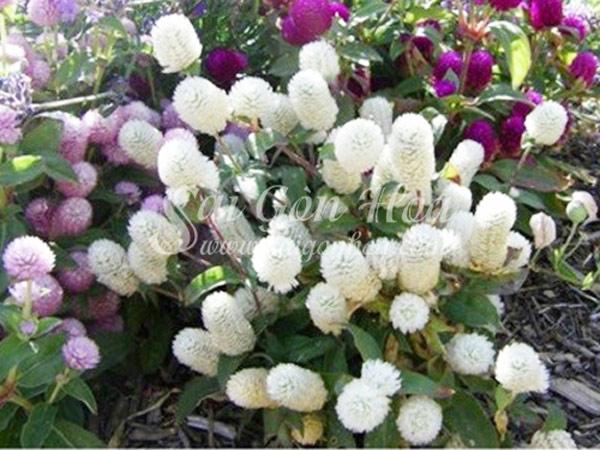Hoa Cúc Bách Nhật Trắng
