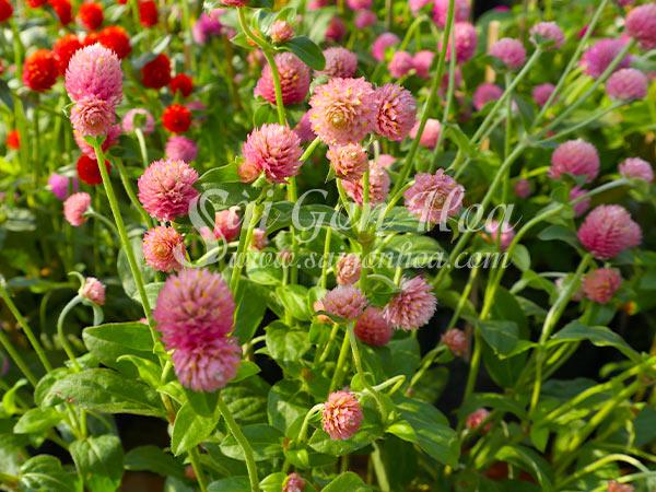 Hoa Cây Cúc Bách Nhật Tím Sen