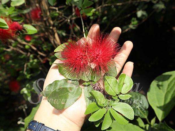 Hoa Cay Diep Lao
