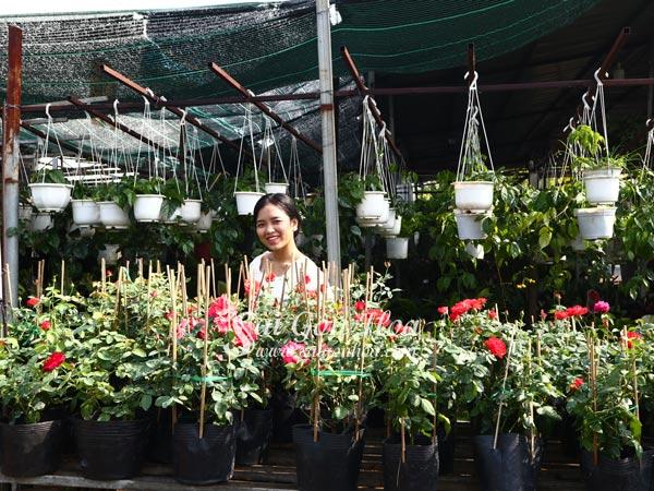Nơi Cung Cấp Cây Hoa Hồng Color Shell