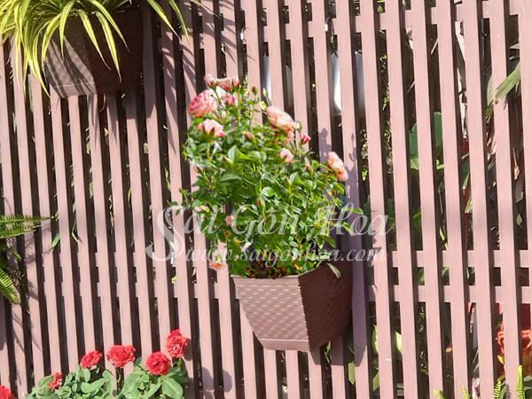 Cây Hoa Hồng Treo Tường