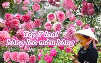 Top 7 Hoa Hong Leo