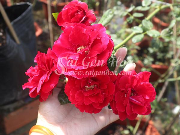 Cây Hoa Hồng Leo Valentine'S Day